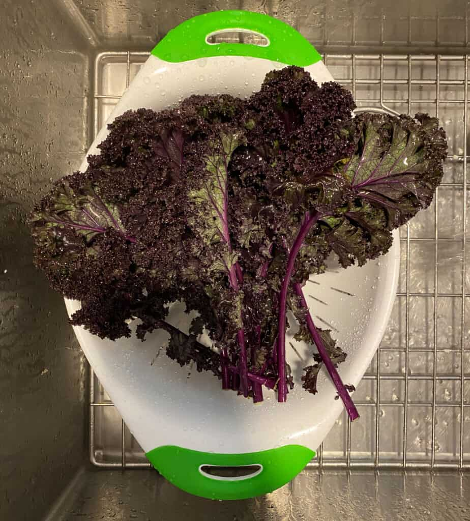 One large bunch of red kale
